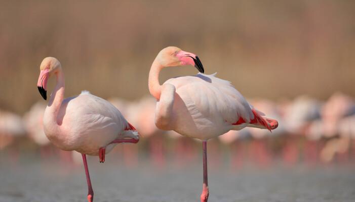 Bare flamingoen vet hvorfor den ofte står på ett ben. Her er storflamingoer i Frankrike.