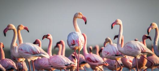 7 ting du ikke visste om flamingoer