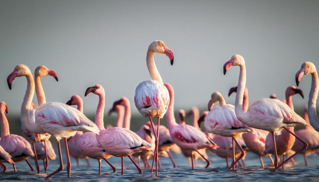 Flamingoene er noen skikkelig tøffinger. De tåler veldig salte innsjøer, veldig varme kilder og veldig kalde vintre i fjellene.