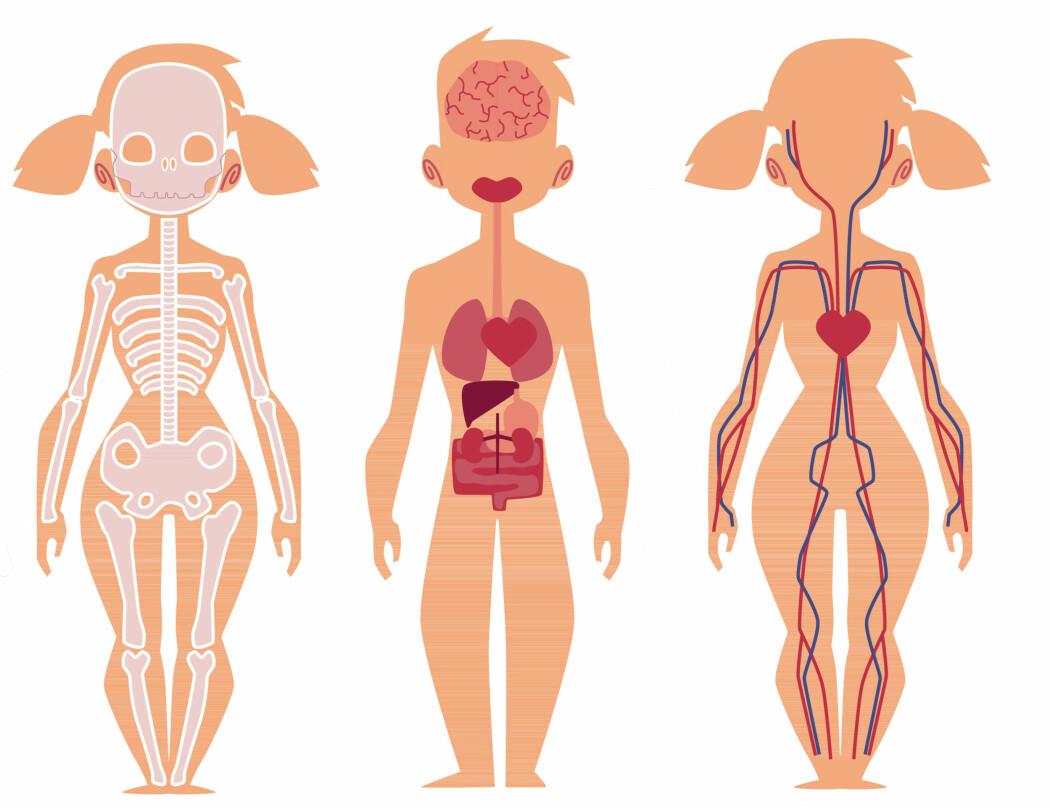 Vi har de samme organene inne i kroppen og de sitter på samme sted.