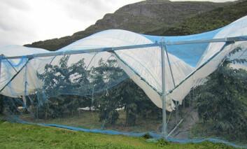 I 2010 fant antageligvis den første dyrkingen av økologiske moreller sted i Norge. (Foto: Mekjell Meland)