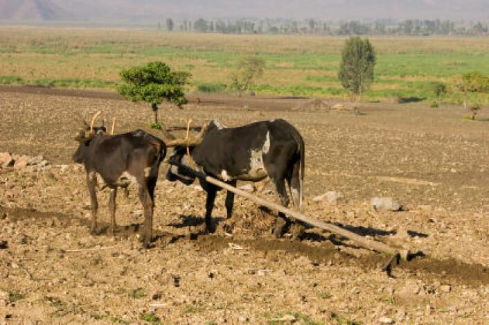Okser og plog i Etiopia. (Illustrasjonsfoto: iStockphoto)