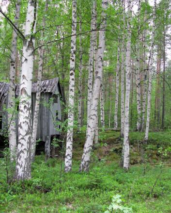 Hengebjørk (Betula pendula) fra Saltdal kommune i Nordland. (Foto: Arne Steffenrem, Skog og landskap)