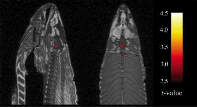 FMRI-skanning av en død laks. Forskere påviste hjerneaktivitet i død laks i 2009 for å vise hvor lett det er å overfortolke fMRI-bilder.