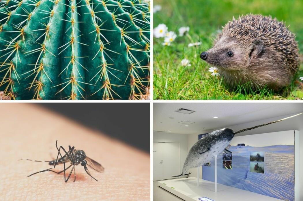 Hva har piggene på en kaktus og et pinnsvin, snabelen til en mygg og støttannen til en narhval til felles? Et naturlig regnestykke.