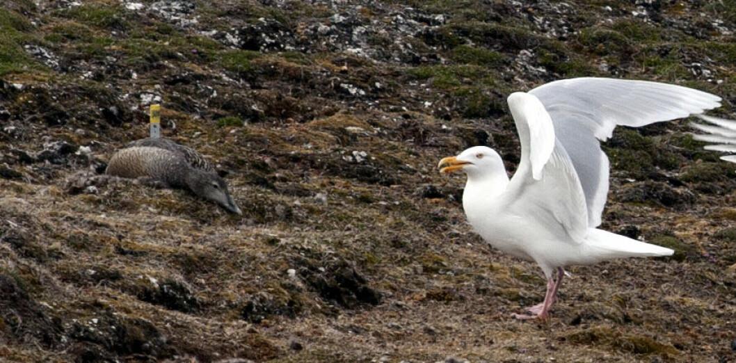 Ærfugl (til venstre) på reir blir utsatt for reirplyndring av blant annet polarmåken. (Foto: Elise Biersma)
