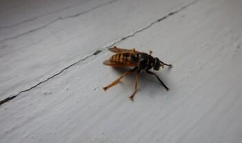 Blomsterfluer, jordbrukets helter: Pollinerer, spiser skadedyr og stikker aldri