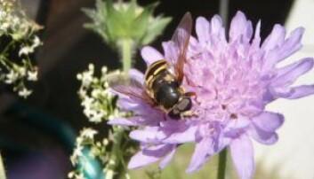 Blomsterfluer besøker mange plantearter. Her på rødknapp.