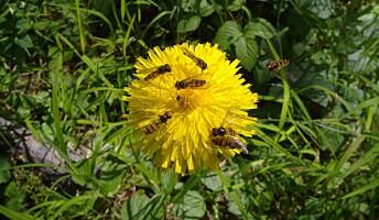 Seks eksemplarer av dobbeltbåndet blomsterflue på flekkgrisøre. Blomsterfluer spiser både nektar og pollen.