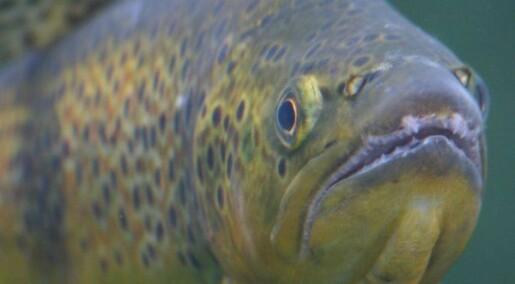 Sporer rømt oppdrettsfisk gjennom fôret