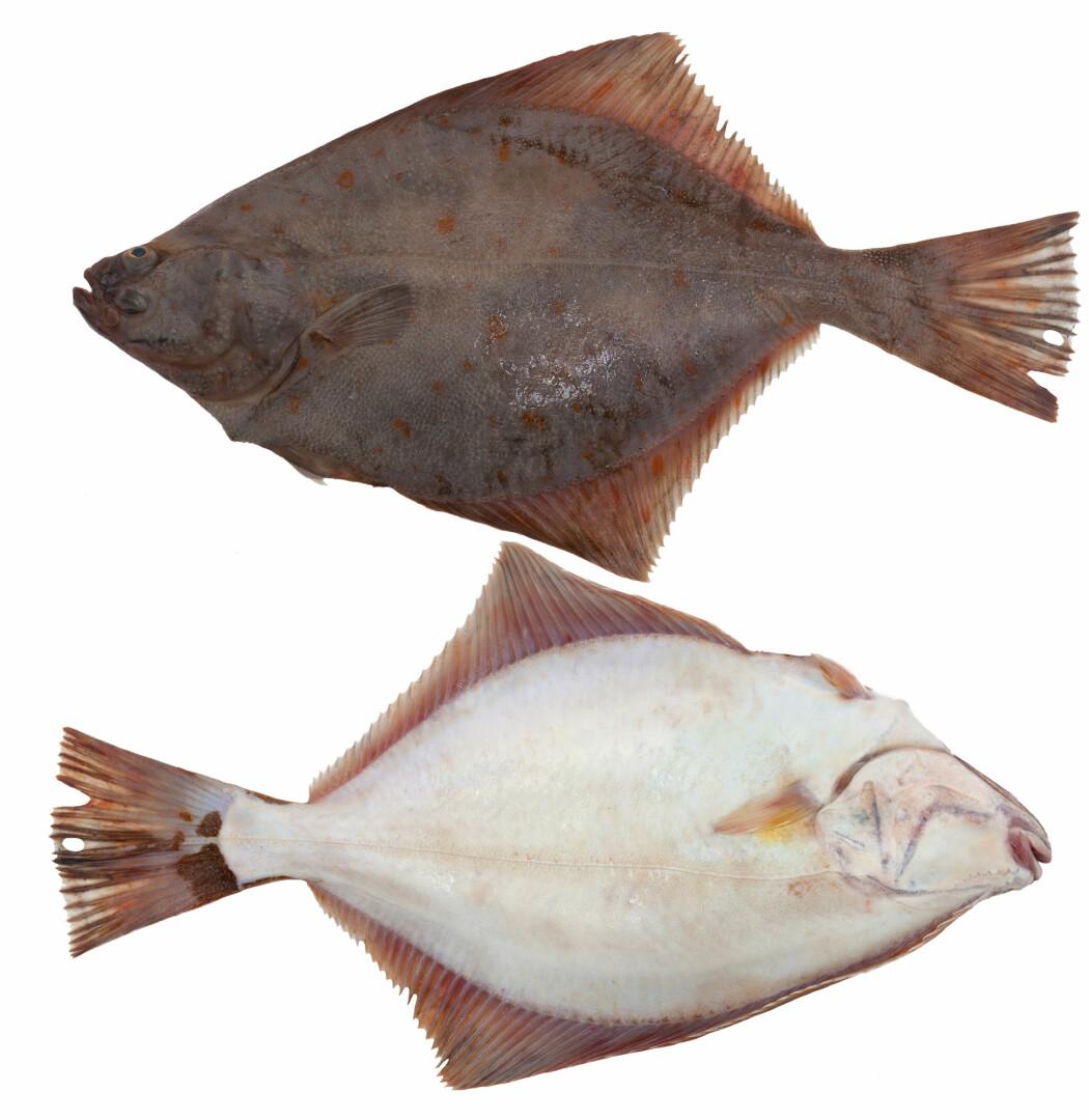Skrubbe ligger på bunnen med den ene sida av kroppen ned og den andre opp. Sida som vender ned er blitt lys, mens øyet har vandert over til andre sida av kroppen.