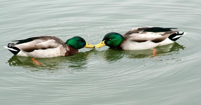 De fleste dyrearter uttrykker homoseksualitet. (Foto: Brocken Inaglory, Wikimedia Commons)
