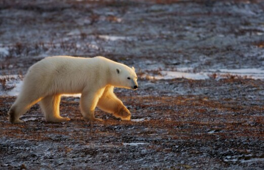 International trade in polar bears from Canada could threaten the species´ survivability