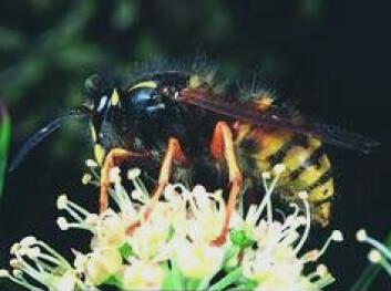 """""""Hva skjer evolusjonært med vepsen når blomsterfluen blir plagsomt lik?"""""""
