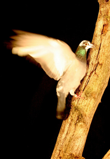 Berghøne flakseløper opp en ganske bratt gren. Fra forskernes forsøk. (Foto: Brandon Jackson)