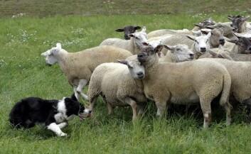 Gjeterhunden og saueflokken i samspill gir oss en mulighet til å studere flokkmentalitet under angrep. (Illustrasjonsfoto: Colourbox)