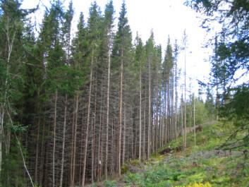 Gran plantet på 1950-tallet i Vefsn avvirkes nå. Høy produksjon og topp kvalitet. (Foto: Arne Steffenrem, Skogfrøverket, Skog og landskap)