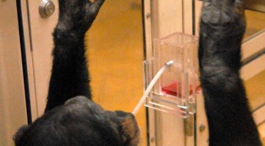 Sjimpanser lærer å bruke sugerør