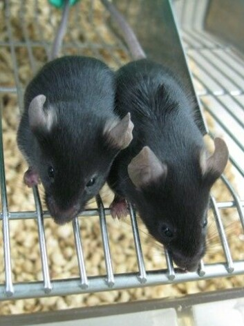 Musa til venstre har fått endra genmaterialet sitt i et forsøk ved Shanghai Institute for Biological Sciences. (Foto: JINSONG LI)