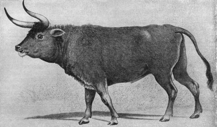 Dagens kuer og okser stammer fra urokse, et dyr som levde vilt over store deler av Europa, Asia og Nord-Afrika. Historisk tegning av urokse fra Europa. (Foto: (Illustrasjon: Wikipedia))
