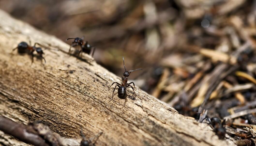 Maur samarbeider og har forskjellige oppgaver i tua. Hvordan får de det til?