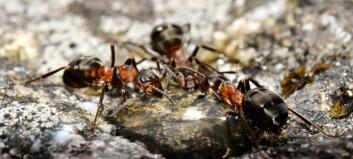 Slik er maurenes hemmelige språk