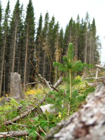 Hogst av 65-70 år gamle plantefelt og nye generasoner gran på vei opp. Fra Vefsn i Nordland. (Foto: Arne Steffenrem, Skog og landskap)