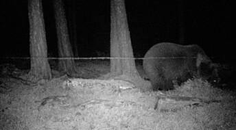 Sjeldent funn av hunnbjørn med fem unger i Karasjok