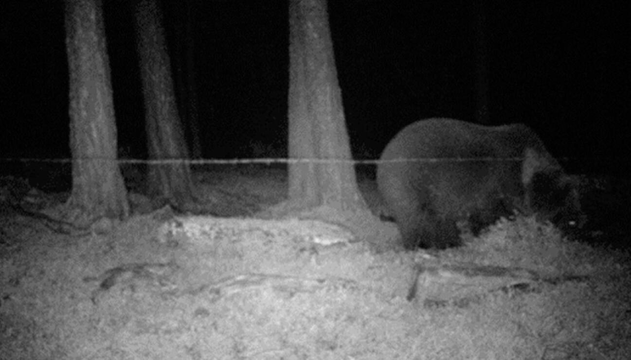 Hunnbjørnen FI57 undersøker luktstoffet i en hårfelle i Karasjok i 2013.