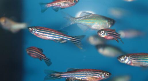 Sebrafisk har parasitter på hjernen. Det kan få alvorlige konsekvenser for utvikling av nye medisiner for mennesker