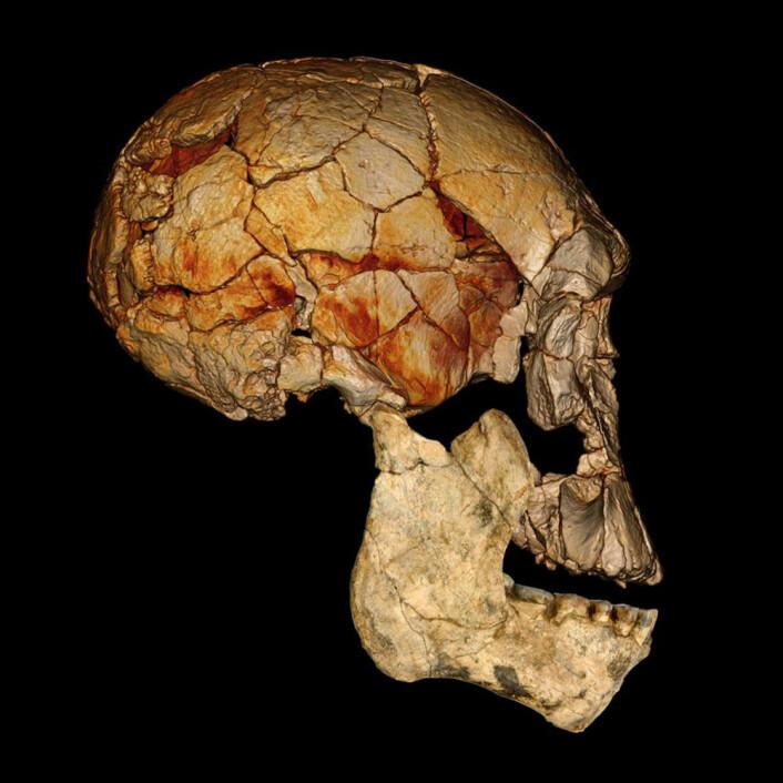 Her er KNM-ER 1470-kraniet, funnet i 1972, kombinert med den nylig oppdagede underkjeven KNM-ER 60000. Forskerne antar at begge tilhører samme art. Det nye funnet kan dermed fortelle forskerne hvordan det komplette kraniet til KNM-ER 1470-kraniet ville ha sett ut. (Foto: Fred Spoor)