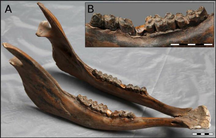 Denne kjeven fra det nordlige Kina er den beste indikasjonen så langt på at urokse kan ha blitt fanget inn og brukt som husdyr i denne delen av verden for mer enn 10 000 år siden. Den viser tydelige skader som kan skyldes slitasje på begge sider av underkjeven. Kjeven er funnet nordvest av Harbin. (Foto: Hucai Zhang)