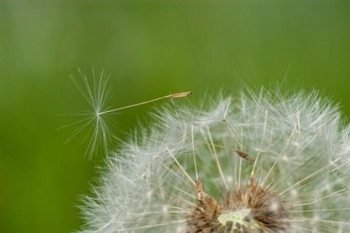 En løvetannblomst har rundt 200 frø, et vindpust de er spredt over hele enga. (Foto: E. Fløistad, Bioforsk)