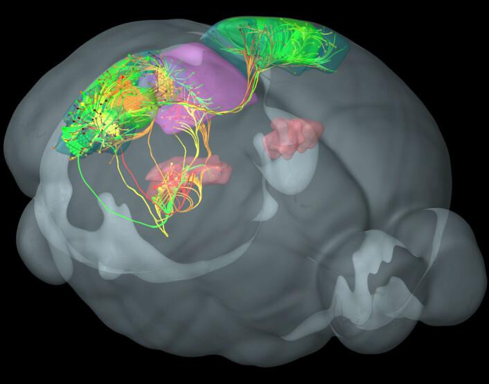 Forbindelser mellom fire bestemte visuelle områder i hjernebarken til en mus, hver kodet i sin farge, grønn, gul, rød og orange. Disse områdene av hjernebarken er sterkt koblet til hverandre og med andre områder for synssansen i thalamus, farget rosa, og midtre del av hjernen, farget lilla. (Foto: (Figur: Allen Institute for Brain Science))