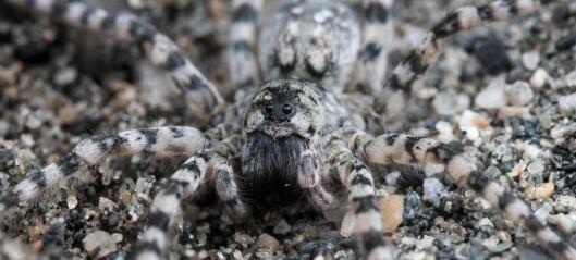 Nå har alle edderkoppene våre fått norske navn
