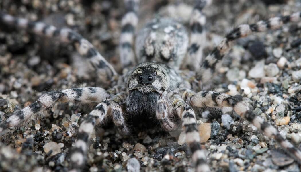 Arctosa cinerea eller elvebreddedderkopp? Det er enklere å huske det siste. Derfor har nå alle edderkopper fått et norsk navn. Denne karen er en av de største edderkoppene vi har i Norge og lever på sand og grus ved elvebredder.