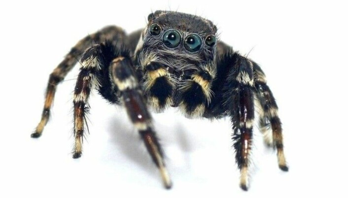 Jotus karllagerfeldi er en sort og hvit edderkopp som gjorde at forskerne tenkte på motedesigneren Karl Lagerfeld som alltid går kledd i sort og hvitt.