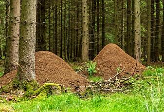 Det finnes usynlige bånd mellom maurtuer