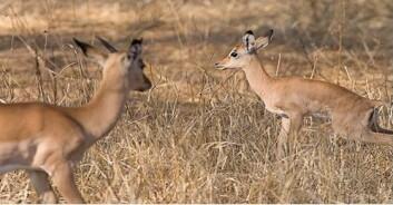 Impala er en art det jaktes mye på i Serengeti. (Foto: Stella Bitanyi)
