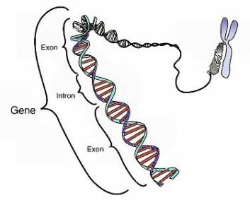 Illustrasjonen (på engelsk) viser kromosomet som er dannet av det spiralformede DNA-molekylet. Et gen er en bit av DNA-et som bestemmer hvilke egenskaper du har, ved at de lager proteinkombinasjoner som gir deg nøyaktig den egenskapen. (Foto: (Illustrasjon: National Human Genome Research Institute))