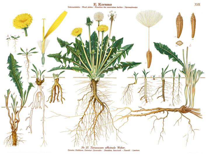 (Foto: (Illustrasjon: K. Quelprud og S. Mørk, Korsmos ugrasplansjer/Bioforsk))