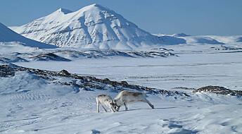 Forskerne var koronafast og kunne ikke telle reinsdyr på Svalbard. Da ordnet de fastboende opp