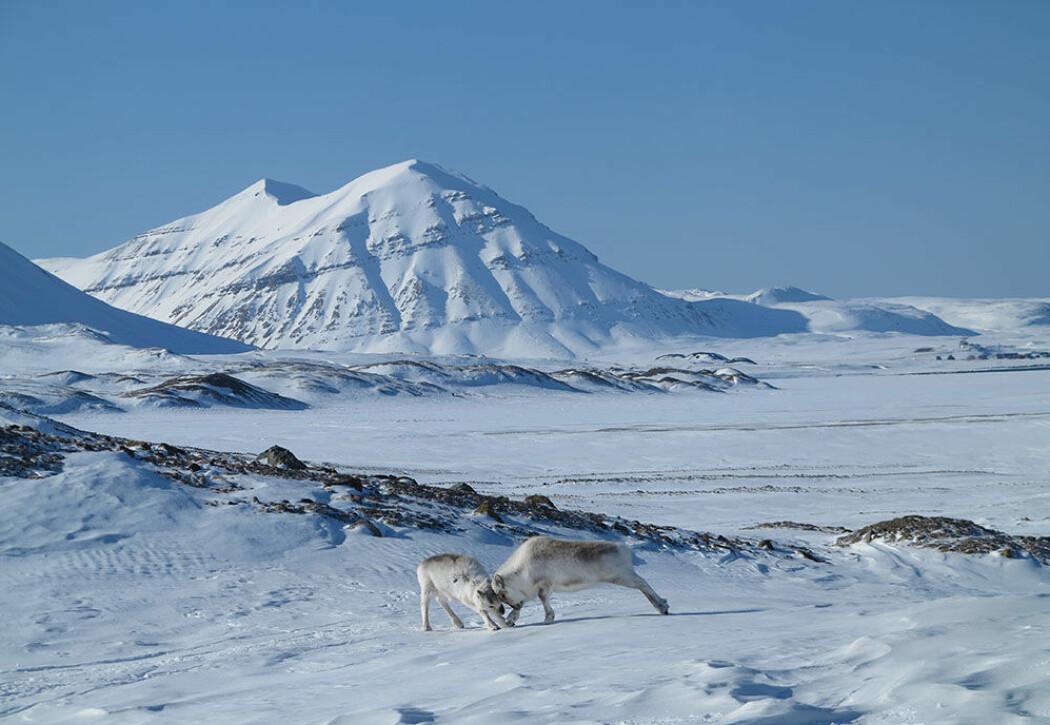 Når det ikke er is på bakken, har reinsdyrene god tilgang til beiteplantene og sulter ikke om vinteren.