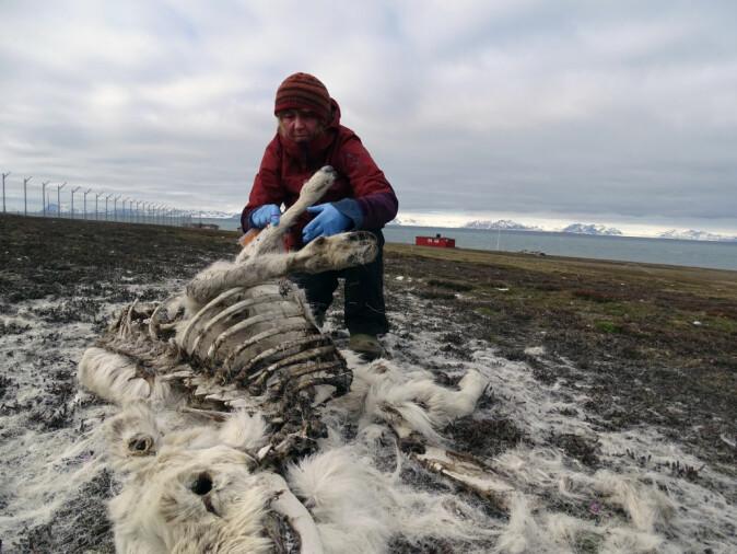 Det ble funnet få reinsdyrkadaver under vårens feltarbeid, noe som tyder på lav dødelighet. Dette bildet er fra reinsdyrtellingen i Adventdalen på Svalbard i juni 2017.