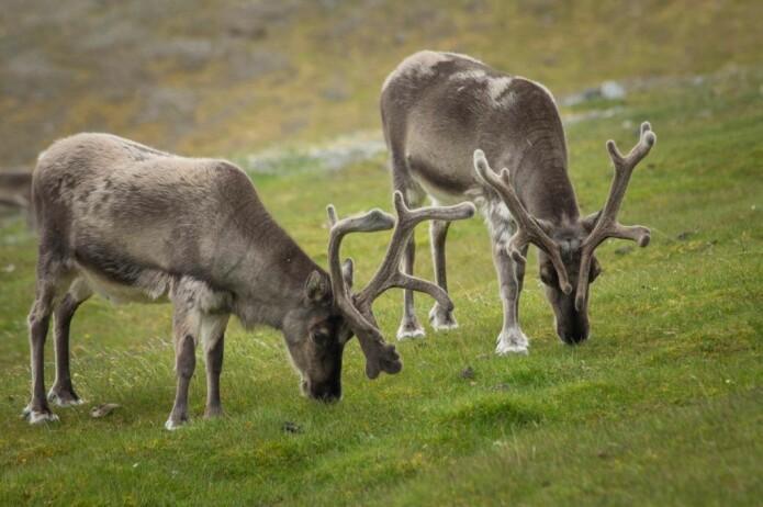 I de store dalførene på Nordenskiöld Land fører varmere somre til økt plantevekst og godt med beite for svalbardrein til langt utover høsten, i motsetning til magrere beitemark i kystnære strøk, som på Brøggerhalvøya.