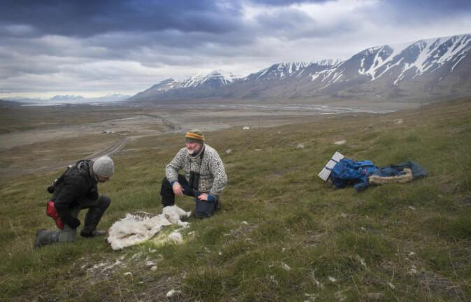 Svalbard opplever de største og raskeste endringene i lufttemperatur på landjorda, med varmere somrer og vintrer, og mer nedbør i form av regn, noe som påvirker dyrene som lever her.