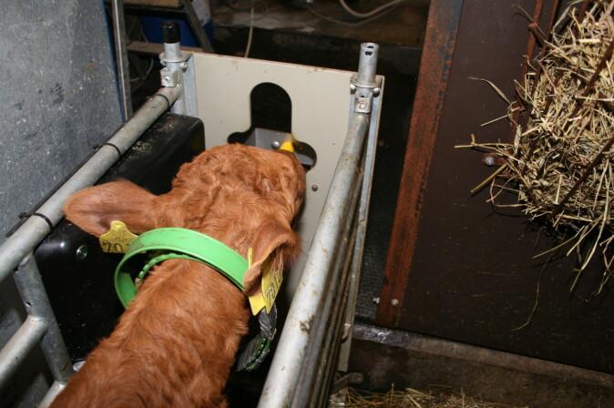 Da det var nedtrapping på besøket av mor, måtte kalven lære hvordan melkeautomaten virker.