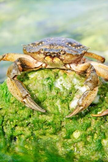 Taskekrabbene trives godt i et hav som har blitt varmere. (Foto: EMrpize / Scanpix)