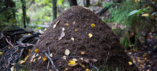 Hvordan begynner maurene å bygge maurtua?