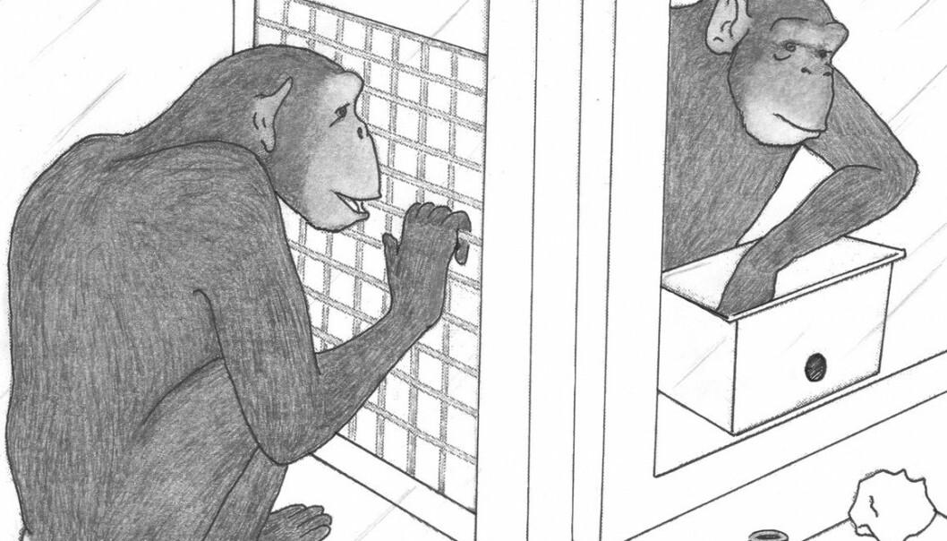 Illustrasjon fra eksperiment som tester sjimpansers spontane gavmildhet (Bilde: Devyn Carter, Yerkes National Primate Research Center)